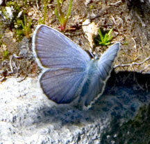 Plaikni Falls Butterfly - Crater Lake National Park