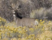 A Deer at Tule Lake National Wildlife Refuge