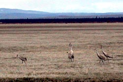 Sandhill Cranes at the Klamath Marsh National Wildlife Refuge
