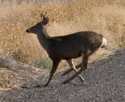 Mule Deer - Tule Lake National Wildlife Refuge