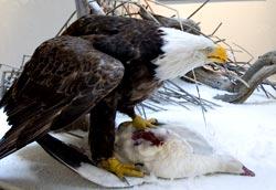 A mounted bald eagle on display at the Tule Lake National Wildlife Refuge Visitor Center.