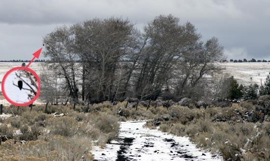 Eagle Roost - Lower Klamath National Wildlife Refuge