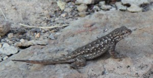 Lizard Along the OC&E Trail