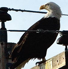 Bald eagle on a power pole.