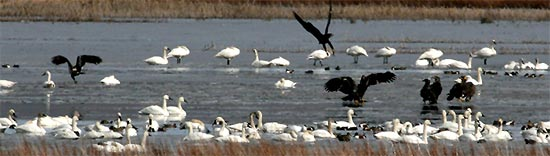 Eagles and Swans