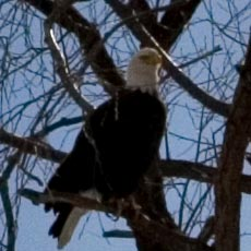 Bald Eagle - Lower Klamath National Wildlife Refuge