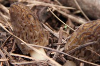 morel-featured