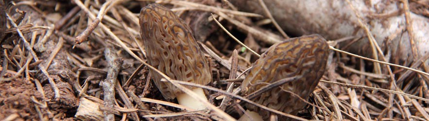 Morel Mushroom Hunting for Everyone
