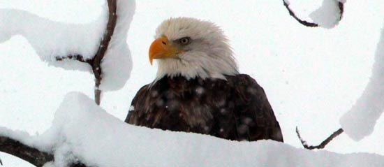 Wintering Bald Eagle