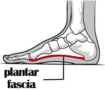 Plantar fascia