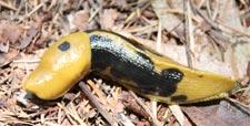 banana slug - Ariolimax columbianus