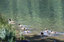 Duck Family Enjoying Juanita Lake
